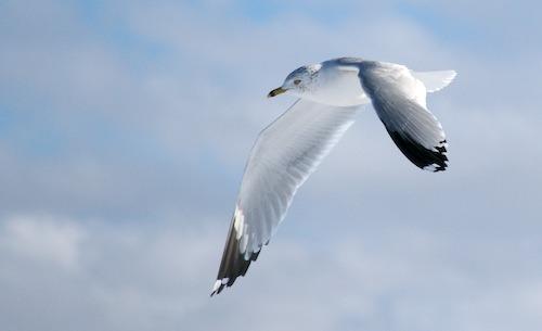 Presque Isle Seagull