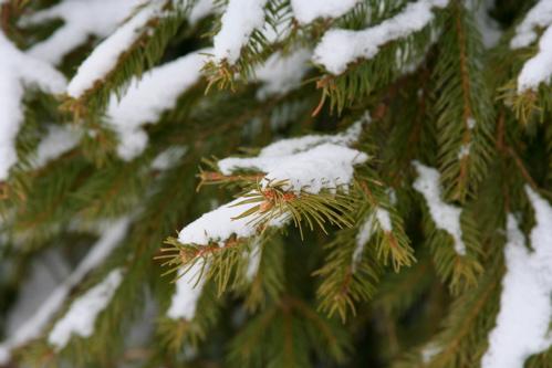 Snow on a Pine
